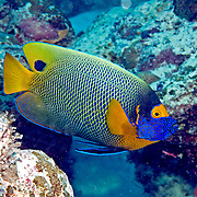 Yellow-mask Angelfish inhabit reefs. Picture taken Palau.