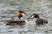 Australasian Crested Grebes are known to eat feathers, which can fill up to 50% of its stomach!<br /> It is believed that feathers are swallowed to prevent bones from passing, or to deal with gastric parasites.