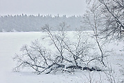 Trees in winter<br /> Nipiwin<br /> Saskatchewan<br /> Canada