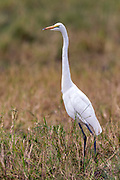Great egret (Ardea alba) from Maasai Mara, Kenya.