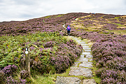 Hike through fields of purple heather flowers on the Cleveland Way Public Footpath, between Osmotherly and Great Broughton in North York Moors National Park, North Yorkshire county, England, United Kingdom, Europe. British taxpayers subsidize this privately-owned National Park, where the high, semi-natural moorland is managed by farmers and landowners for traditional sheep farming and grouse shooting. Burning the heather encourages new growth to provide food for sheep and the native red grouse (Lagopus lagopus scotica, a subspecies of willow ptarmigan). Controversial killing of foxes, stoats and crows (predator control) is done to increase grouse density. While only a rich elite can afford the regulated hunt for grouse, hunting infrastructure supports the local economy. Three types of heather grow on the North York Moors: 1) Ling (Calluna vulgaris), the most common type here, has very tiny pink flowers generally blooming in mid- to late-August; 2) Bell heather has dark pink or purple bell-shaped flowers; 3) Cross-leaved heath, found in boggy areas, blooms with pale pink bell-shaped flowers. England Coast to Coast hike day 10 of 14. [This image, commissioned by Wilderness Travel, is not available to any other agency providing group travel in the UK, but may otherwise be licensable from Tom Dempsey – please inquire at PhotoSeek.com.]