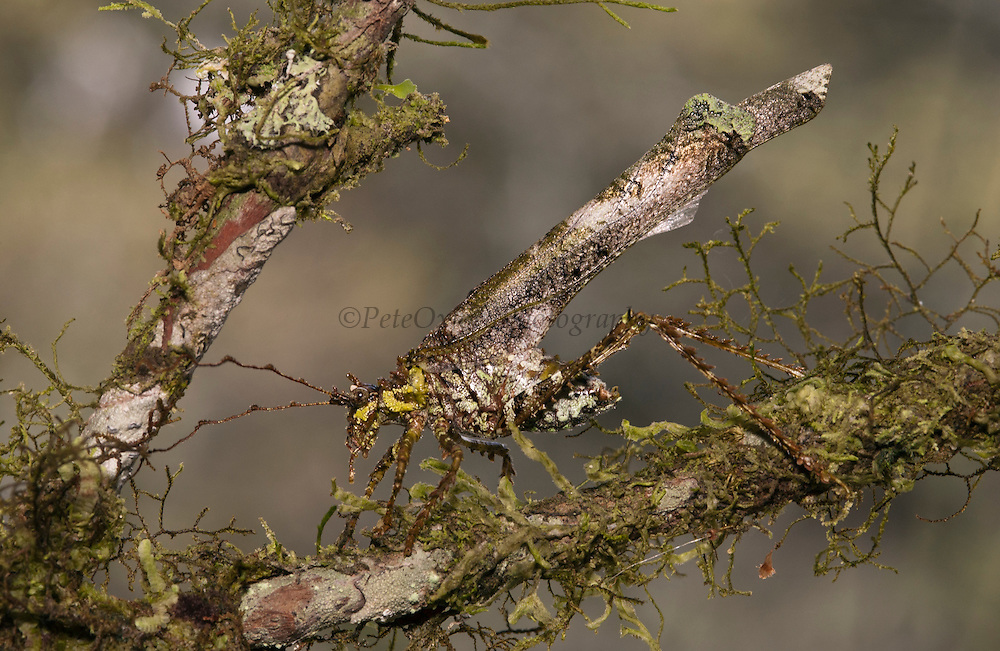 Lichen mimic katydid (Tettigoniidae)<br /> Mindo Cloud forest. +-1600 meters. Western slope of Andes.<br /> ECUADOR.  South America
