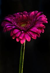 Electric Pink Petals of a Gerber Daisy Against a Black Backdrop