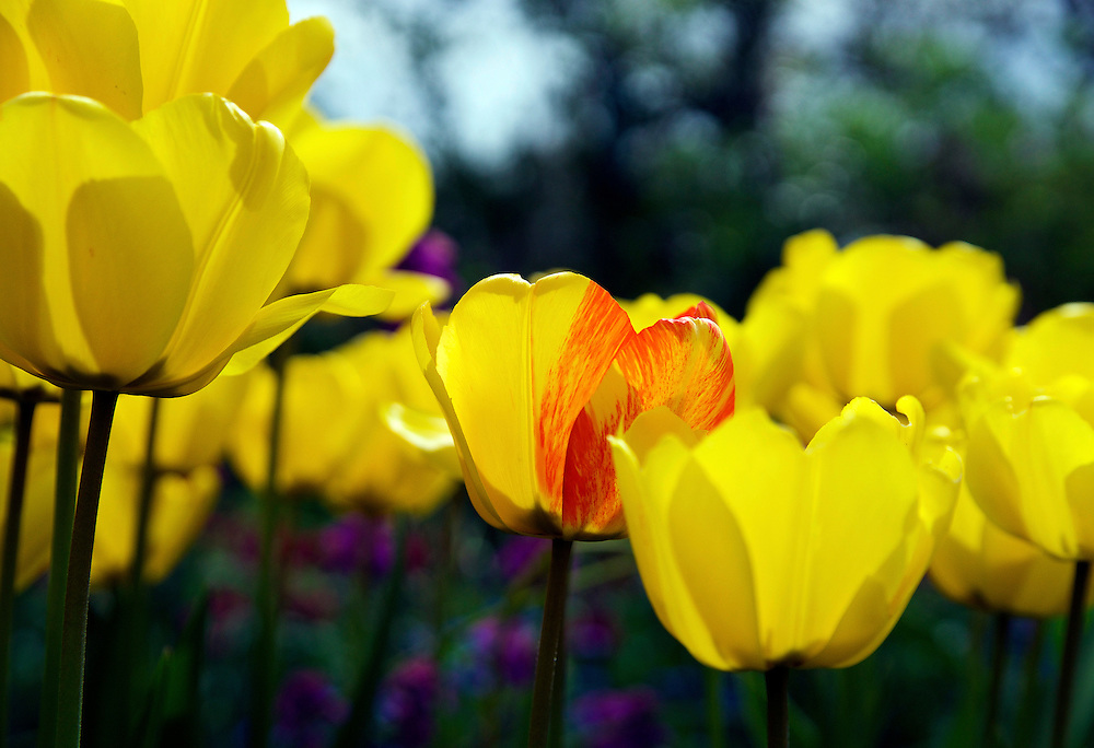 A yellow and red tulip standing out from the field of yellow tulips.  The photograph was taken at Claude Monet's home in Giverny, France.