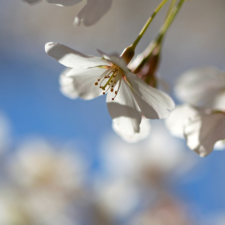 Close up of delicate, white cherry blossoms in bloom in the spring