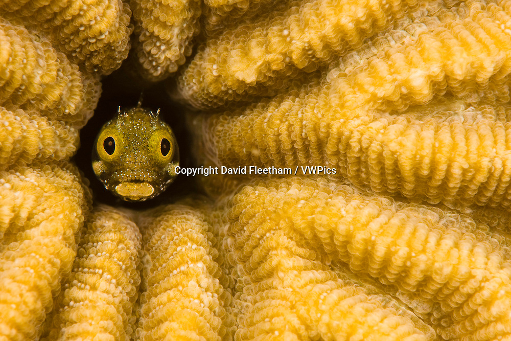 Spinyhead blenny, Acanthemblemaria spinosa, in hard coral, Netherlands Antilles, Bonaire, Caribbean.