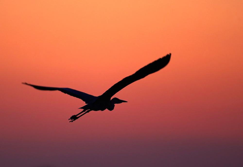 Grey Heron (Ardea cinerea) Pusztaszer Nature Reserve, Hungary