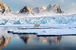 Polar bear (Ursus maritimus) in front of glacier in Spitsbergen, Svalbard, Norway
