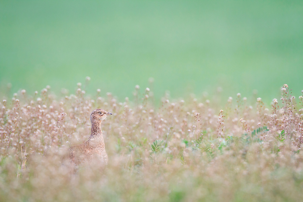 Little Bustard (Tetrax tetrax) female on habitat. Lleida province. Catalonia. Spain.