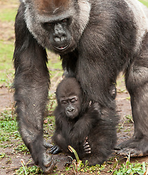 © Licensed to London News Pictures. 20/12/2016. Bristol, UK. ** EMABARGOED TILL 00.01am, WEDNESDAY 21 DECEMBER 2016 **. AFIA, a western lowland gorilla who is 10 months old IS carried by her surrogate mother gorilla Romina on one hand. Afia now lives with the other gorillas at Bristol Zoo, after being born by caesarian section on 12 February this year. Keepers at Bristol Zoo have announced that their ëlittle miracleí Afia, the young Western lowland gorilla who has been hand-reared since birth, is now fully integrated with the gorilla troop. Itís been an eventful journey since the young primate was born 10 months ago by emergency caesarean section and fought for her life before being cared for by keepers to ensure her survival.<br />  In that time keepers have given more than 1,570 bottle feeds, changed nearly 1,400 nappies, given 112 piggy back rides, and spent countless sleepless nights caring for her round-the-clock. Now, having reached a huge milestone, Afia is no longer being cared for by keepers but is spending 24-hours a day with her new gorilla family. She can often be seen exploring her new home on Gorilla Island, or clinging onto her new, surrogate mother gorilla, Romina. Photo credit : Simon Chapman/LNP