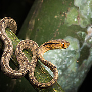Keeled Slug Snake (Pareas carinatus) in Lam Nam Kra Buri national marine park, Thailand