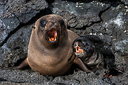 Galapagos Fur Seal & Pup (Arctocephalus galapagoensis) Cabo Douglas, Fernandina Island.<br /> GALAPAGOS ISLANDS<br /> ECUADOR.  South America<br /> THIS PUP IS ONLY 30 MIN. OLD<br /> These are the smallest of the world's 7 species of fur seals with males only reaching 65-80kg's. They are found mostly in the upwelling zones  in the west of the archipelago. They are usually quite solitary and avoid body contact with other fur seals, preferring to be in the shady lava crevices. They are nocturnal feeders and thus have very large eyes and good nocturnal vision. <br /> ENDEMIC TO GALAPAGOS.