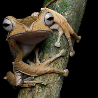 Borneo Eared Frog, Polypedates otilophus, in the rainforests of the Borneo Highlands in Sarawak