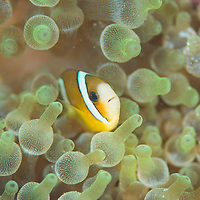 Clark's Anemonefish, Amphiprion clarkii, in a bubble-tip anemone, Mabul Island, Sabah, Malaysia, Borneo.