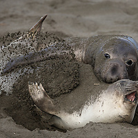 Young bull Elephant seal tries to court another young seal