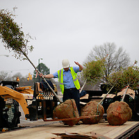 Thomas Wells | BUY AT PHOTOS.DJOURNAL.COM<br /> Zack Jones directs the loading of the first set of trees to be planted along West Main Street in downtown Tupelo on Wednesday.