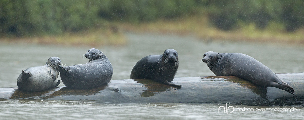 Harbor Seals resting on log during rain storm;  Khutze Bay, British Columbia in wild.