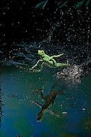 Green basilisk or plumed basilisk running on water (Basiliscus plumifrons), Costa Rica Image by Andres Morya