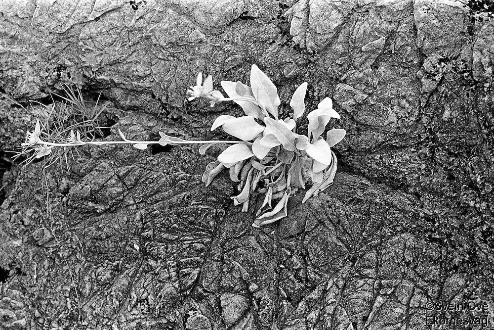 Kroatia 2012-06.<br /> Flower power på Lopud.<br /> Foto: Svein Ove Ekornesvåg