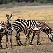 Burchell's Zebra, (Equus burchelli) Mother and baby and adult. Masai Mara Game Reserve. Kenya. Africa.