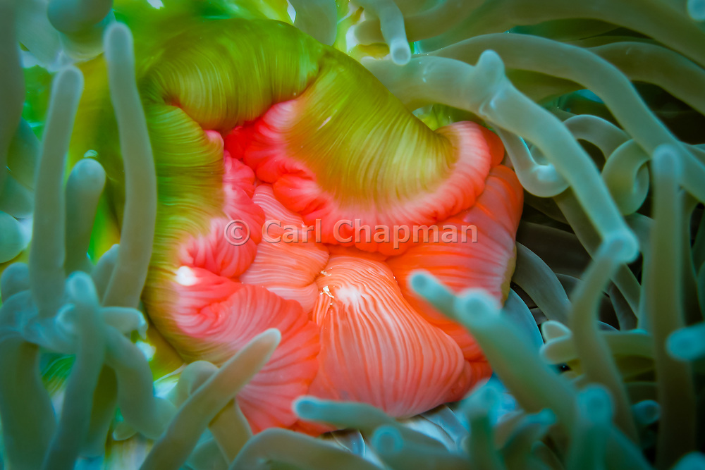 Mouth of the Magnificent sea anemone (heteractis magnifica) - Great Barrier Reef, Australia, Queensland, Australia