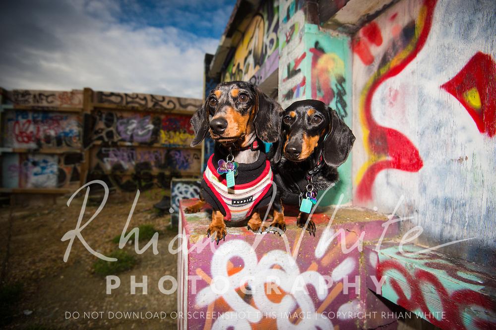 Wispa and Aero, the miniature Dachshunds