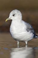 Common Gull - Larus canus - winter adult