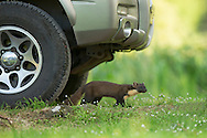 Pine marten pair (Martes martes) peering out from beneath car, Ardnamurchan, Scotland.