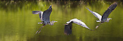 Great Blue Heron (8x24 inch print)