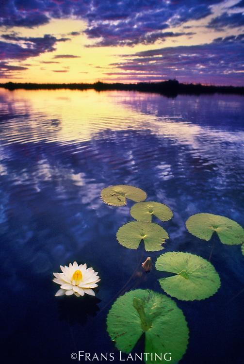 Water lilies in lagoon, Okavango Delta, Botswana