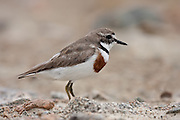 Banded Dotterel, Stewart Island, New Zealand