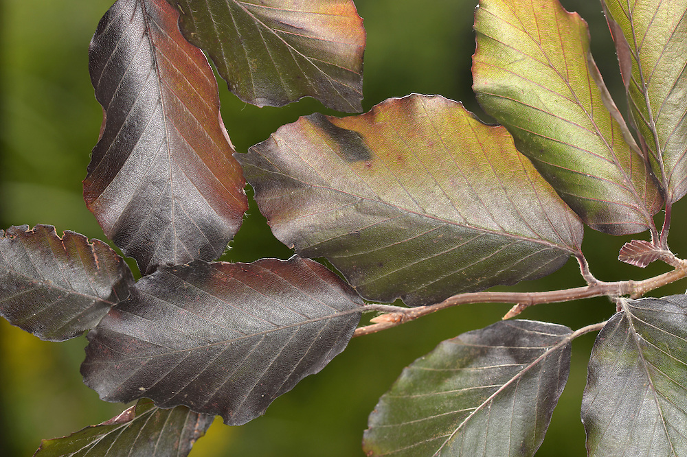Copper Beech - Fagus sylvatica 'Atropunicea' (Purpurea)