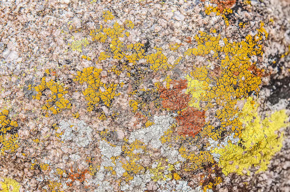 Acarospora socialis - pale yellow<br />