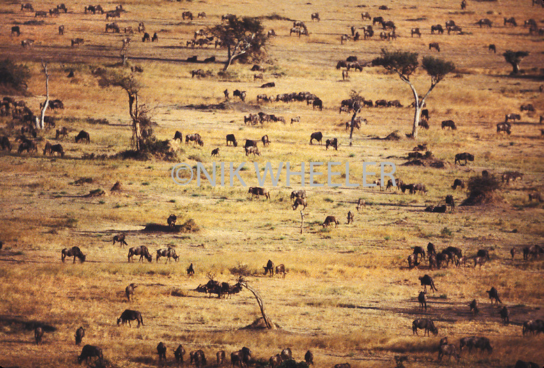 Animals graze in grasslands of Masai Mara  game park during wildlife migration in Kenya, East Africa