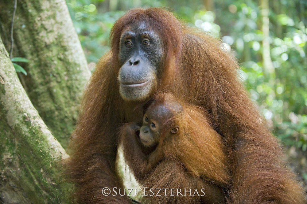 Sumatran Orangutan<br /> Pongo abelii<br /> Mother and 1.5 year old baby<br /> North Sumatra, Indonesia<br /> *Critically Endangered