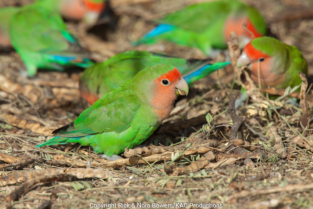 Peach-faced Lovebird <br /> Agapornis roseicollis<br /> Gilbert Water Ranch, Gilbert, Maricopa County, Arizona, United States<br /> 15 January    Adult eating Mesquite seeds (Prosopsis sp.)      Psittacidae