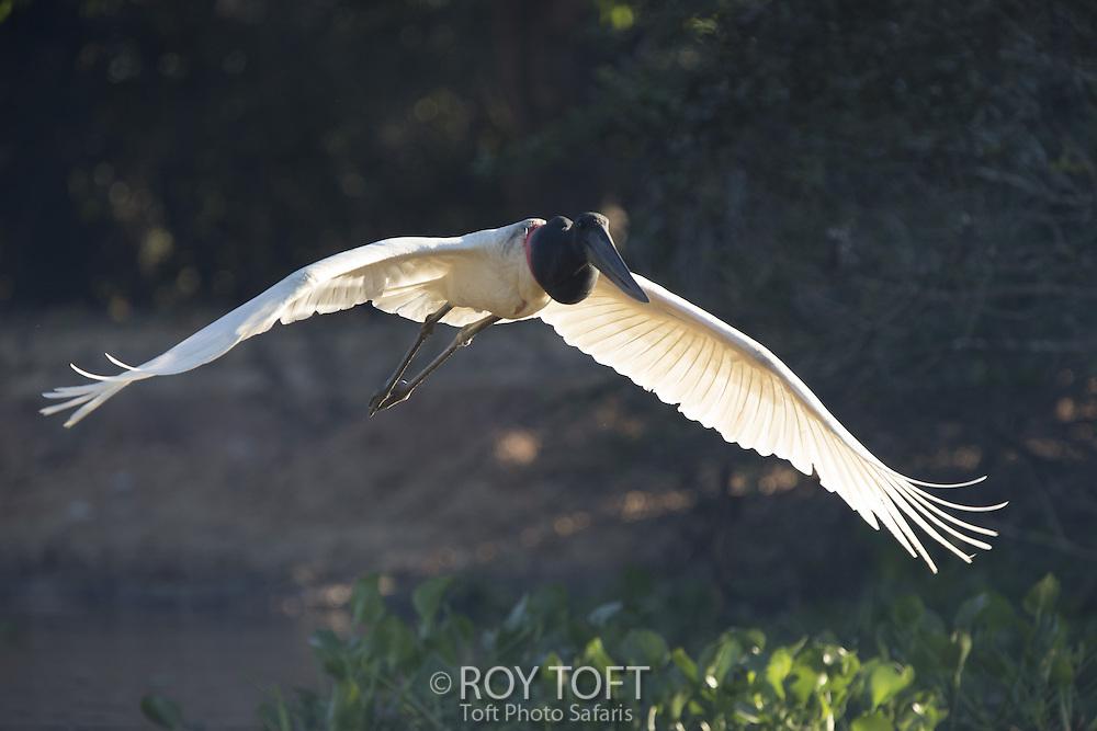 Jabiru Stork (Jabiru mycteria) in flight, Pantanal, Brazil