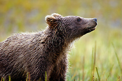 North American brown bear / coastal grizzly bear (Ursus arctos horribilis) cub standing in a field, Lake Clark National Park, Alaska, United States of America