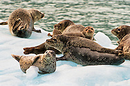 Harbor Seals (Phoca vitulina) sunning themselves on an iceberg in Endicott Arm fjord in Tracy Arm - Fords Terror Wilderness in the Inside Passage of Southeast Alaska. Summer. Evening.