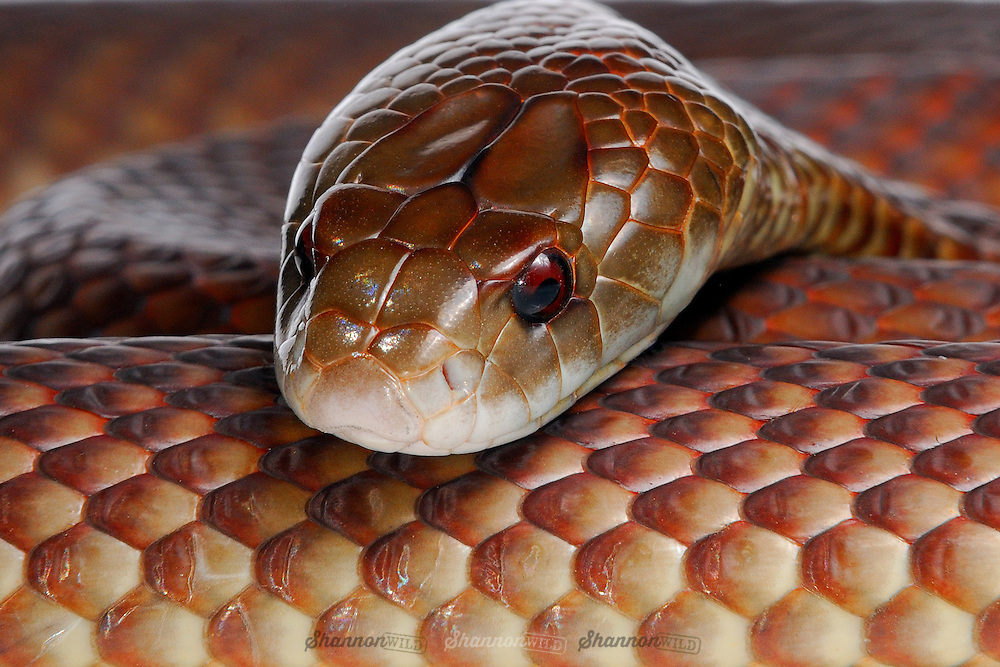 Mulga or King Brown Snake (Pseudechis australis)