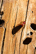 Pacific coast dampwood termite (Zootermopsis angusticollis) -alate<br /> CALIFORNIA: Mono Co.<br /> June Lake  37.77810 -119.07734  2323 m<br /> 13-17.June.2012  <br /> J.C. Abbott #2601 & K.K. Abbott