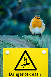 Robin on an electricity cable warning sign, Foxton, Leicestershire, England, UK.