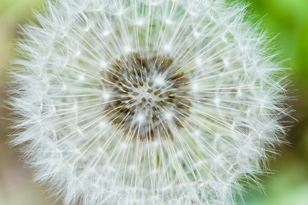Macro of common Dandelion (Taraxacum officinale) flower turned to seeds in late spring at Eklutna Flats in Southcentral Alaska. Afternoon.