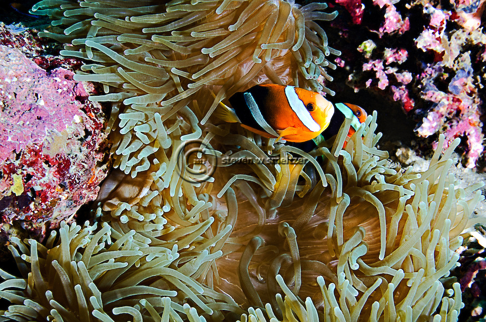 Orange-fin Anemonefish, Amphiprion chrysopterus, Bali Indonesia