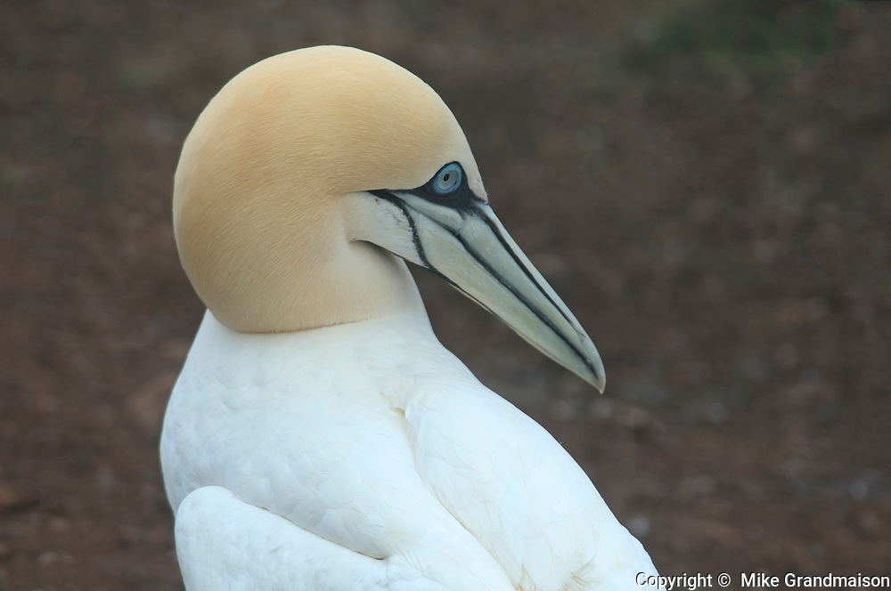 Northern gannet (Morus bassanus) in colony<br />