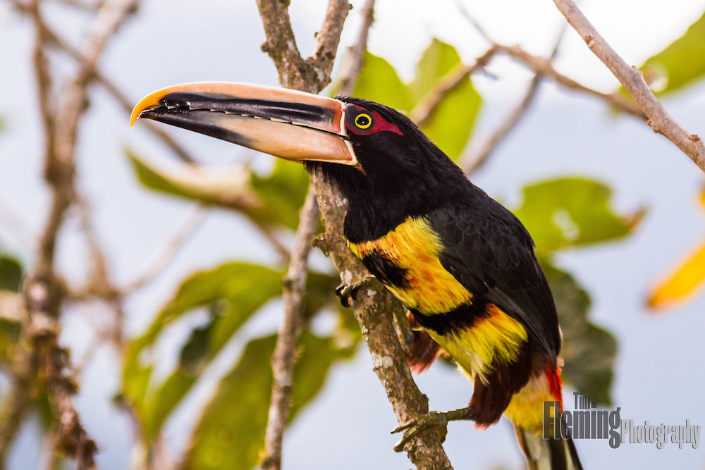 Pale-mandibled Aracari in the Tandayapa Valley of Ecuador