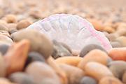 Portuguese man o' war (Physalia physalis) stranded on beach. Dorset, UK.