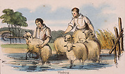 Dipping or washing  sheep. From 'Graphic Illustrations of Animals and Their Utility to Man', London, c1850.