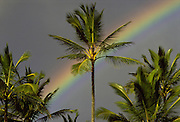 Coconut Palm, Rainbow, Hawaii, USA<br />