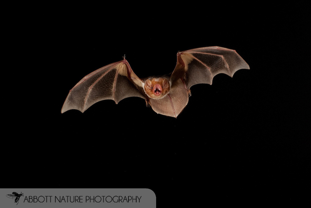 Red Bat (Lasiurus borealis) female flying; shots taken with high speed flash<br /> TEXAS: San Saba Co.<br /> Pecan Orchard outside of San Saba<br /> 25.July.2009<br /> J.C. Abbott &amp; K.K. Bauer